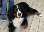 Shock anafilattico dopo la puntura di un insetto, cane salvato dall'ambulanza veterinaria di Earth