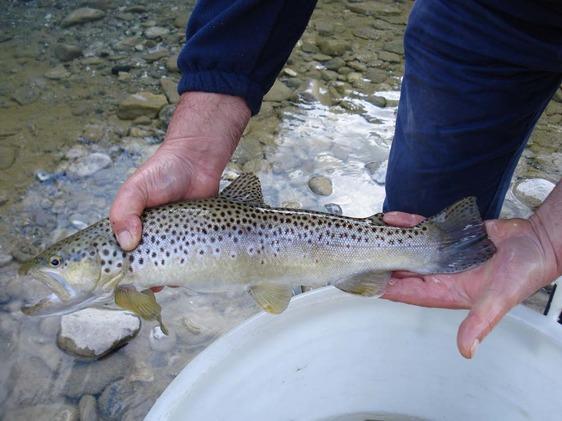 Domenica apre la stagione della pesca alla trota, rafforzati i controlli