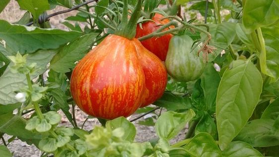 Dalla Val di Bisenzio parte la riscossa di un'antica specie di pomodoro, salvata dalla tenacia di pochi agricoltori
