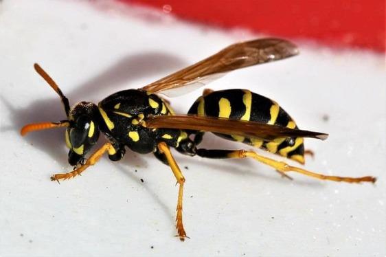 Punto da una vespa va in shock anafillattico, grave un uomo di 68 anni