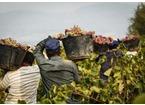 Profughi da Prato al Chianti per essere sfruttati nei campi